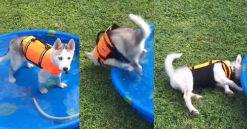 Tiny Husky pup clumsily tumbles out of paddling pool in adorable fail