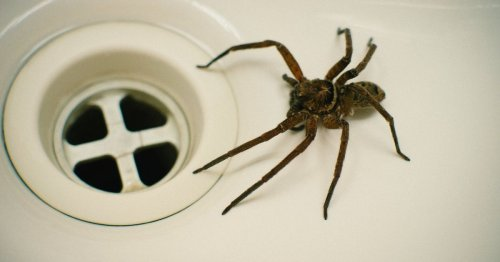 Sex-crazed spiders set to invade UK homes in their thousands this winter