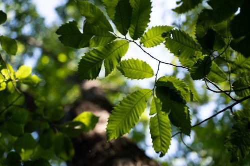 The American Chestnut Was Wiped Out A Century Ago. Could It Make A Comeback?