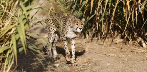 After 70 years, cheetahs set to make a comeback in India: Report