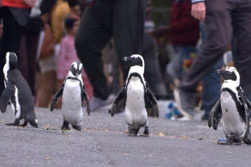 Stream It Or Skip It: 'Penguin Town' On Netflix, Where Patton Oswalt Narrates The Penguin Mating Season In A South African Resort Town