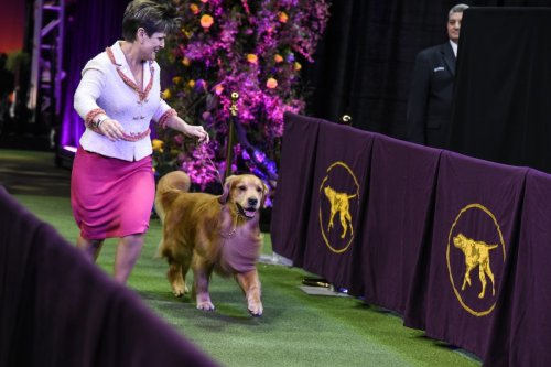 Where to Watch Westminster Dog Show 2021