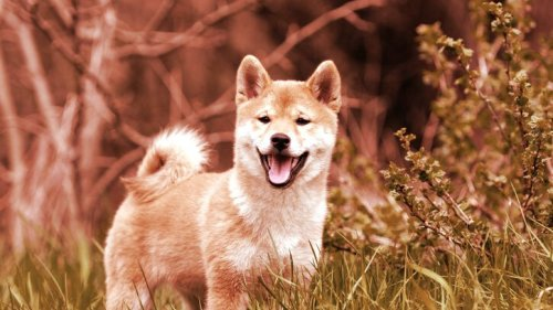 Coinbase Pro to Open Up Trading for Dogecoin Rival SHIB - Decrypt