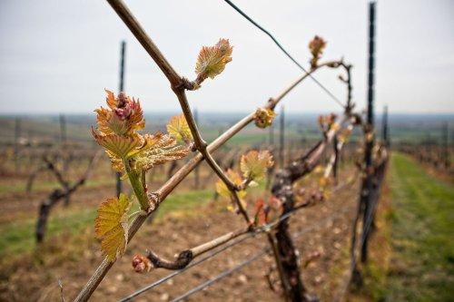 Frühling in den Weinbergen von Rheinhessen #Fotomontag 21/19