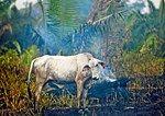 Warum Brasiliens Wälder für Steaks der Österreicher brennen