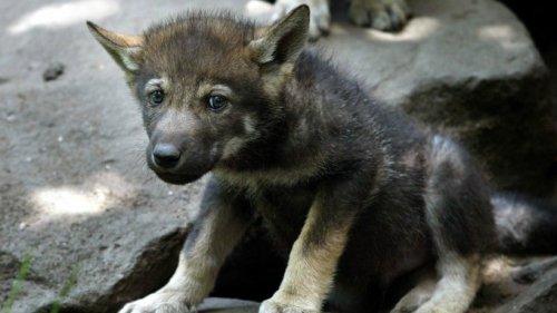 Hund in NRW – Spaziergänger finden Welpen, päppeln ihn zuhause auf und stellen schockiert fest: Der Kleine ist ein ganz anderes Tier!