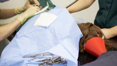 Hund in NRW: Schädling verletzte Vierbeiner schwer – irre, wieviel Geld der Tierarzt jetzt verlangt