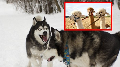 Hund in NRW: Huskys greifen Alpakas an! Gassi-Runde endet blutig