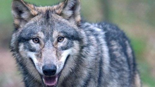 NRW: Wolf tappt in Fotofalle – HIER hat man die Tiere zuvor noch nie gesehen