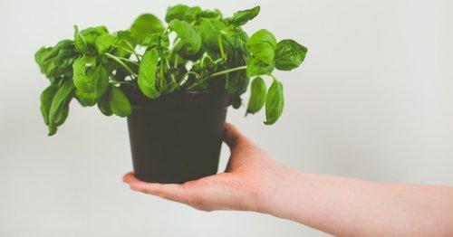 Basilikum richtig pflegen: So verlängerst du die Lebensdauer der Pflanze