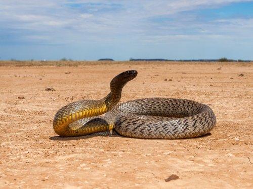 Abenteuer Australien | Schlangenfänger – Auf Schlangenfang in Australien | detektor.fm – Das Podcast-Radio