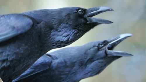 Betrachtungen aus der Vogelperspektive - Von Menschen und Raben