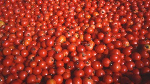 Tomaten senden elektrische Signale