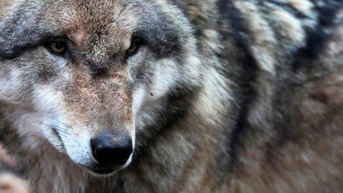 Wölfe haben sie überlebt - durch Nahrungsumstellung