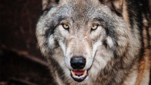 Kölner Wolf kam aus den Alpen