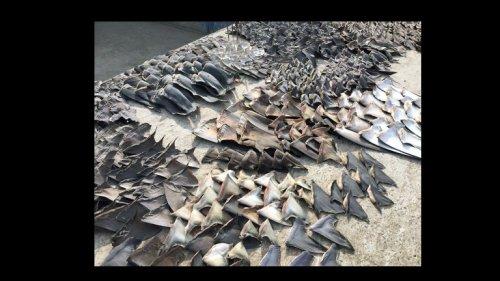 Tausende Haiflossen beschlagnahmt