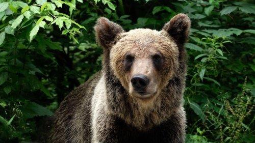Wenn Braunbären Menschen angreifen