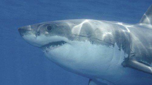 3.000 Jahre alten Hai-Angriff rekonstruiert