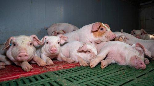 Preisverfall bringt Schweinebauern an den Rand der Existenz