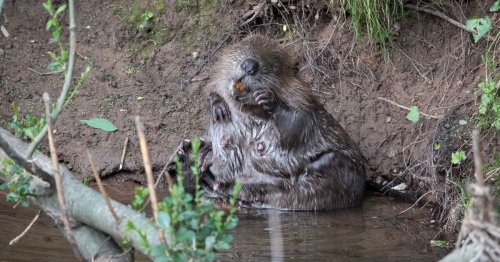 Finding the mystery matriarch of Devon's beaver population