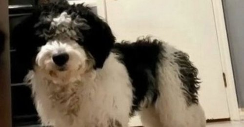 Dog left looking like 'Bruno Mars' after trip to groomers