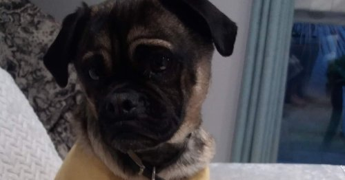 Pug nearly dies after 'mindless morons' leave fish hook on beach