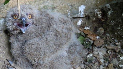 Nace un pollo de búho real en el Zoobotánico