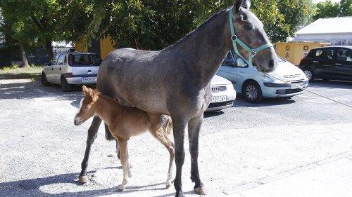 Un 'baby boom' equino en el zoosanitario de Sevilla