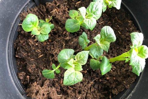Balkongarten: Kartoffeln in Kübeln ziehen