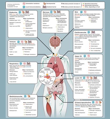 Tutti gli effetti del microbiota sulla salute dell'uomo