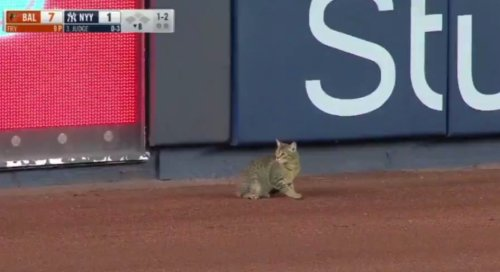 A Cat Ran Onto The Field During The Yankee Game, And It's The Most Riveting Three Minutes Of Baseball You'll Ever See - Digg