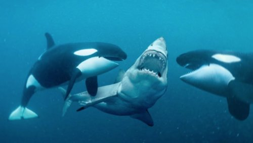 Here's How Orcas Became Known As Killer Whales - Digg
