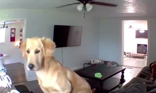 Dog Owner Tries To Use Security Camera To Stop Dogs From Wreaking Havoc In The House. This Is How Well That Worked Out