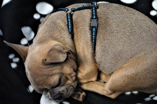 What You Need To Know About Securing A Dog Harness The Right Way | PawTracks