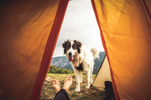 7 Safety Tips For The Best Camping Trip With Your Dog | PawTracks