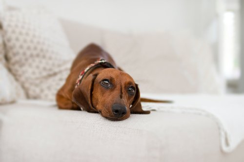 Why Not To Let Your Dachshund Jump On The Furniture | PawTracks