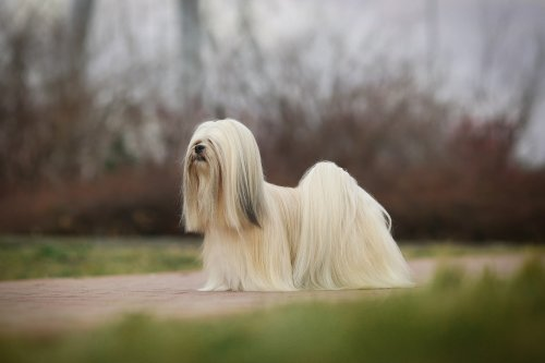 Should Your Lhasa Apso Have Long Hair Or A Puppy Cut? | PawTracks