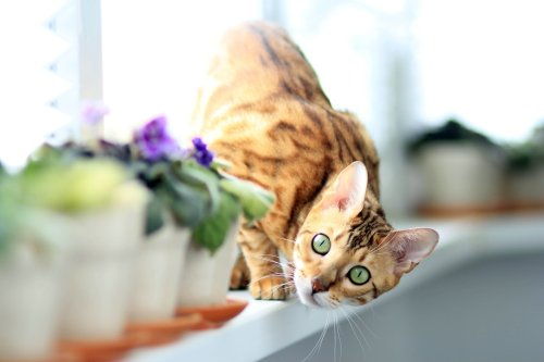 Before You Bring Home a Bengal, Here's What You Should Know | PawTracks