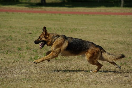How To Train Your German Shepherd To Be An Excellent Guard Dog | PawTracks