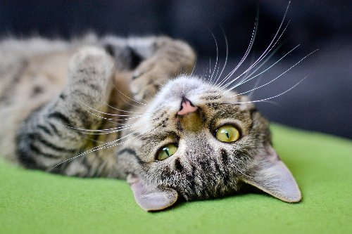 Here's How a Cat Calming Diffuser Can Help Your Kitty. | PawTracks