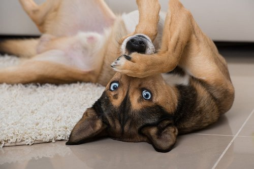 What you need to know about dogs with blue eyes   PawTracks