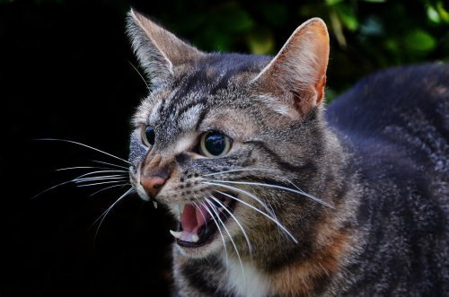 Put a Stop to a Cat's Growling and Hissing With These Tips | PawTracks