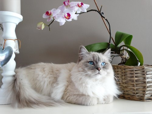 If You Like Cuddling, You'll Want One of These Cat Breeds | PawTracks