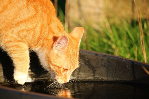Your Cat Drinking Too Much Water Could Indicate a Problem | PawTracks