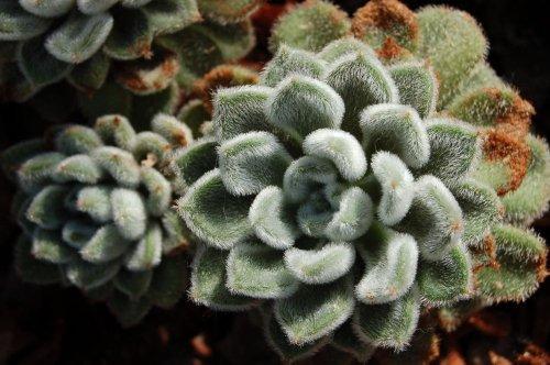 Echeveria Setosa Care: How to Grow & Care for the Mexican Firecracker