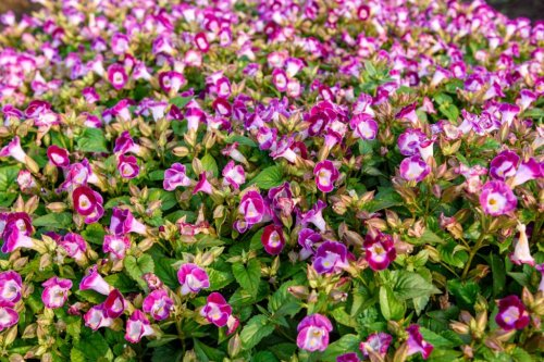 Wishbone Flower Care – How To Grow And Care For A Wishbone Flower