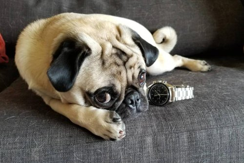 Watches Are A Far Better Investment Than Designer Dogs Right Now