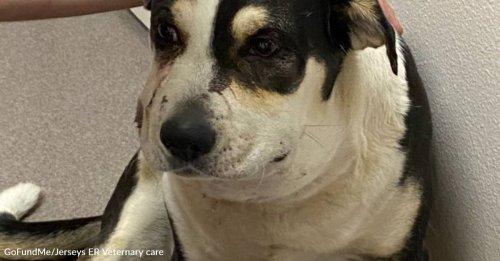 Brave Dog Bit 5 Times By Rattlesnake In California