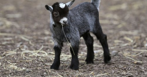 Sustainable animal-lovers could earn €45k a year as goat herder on Howth Head