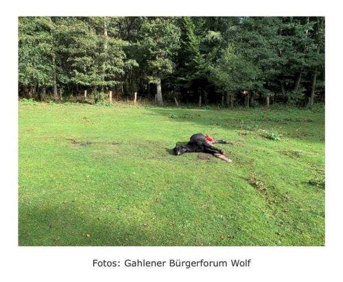NRW: Schlimmer Anblick – Wolfrudel reißt Pony in Hünxe
